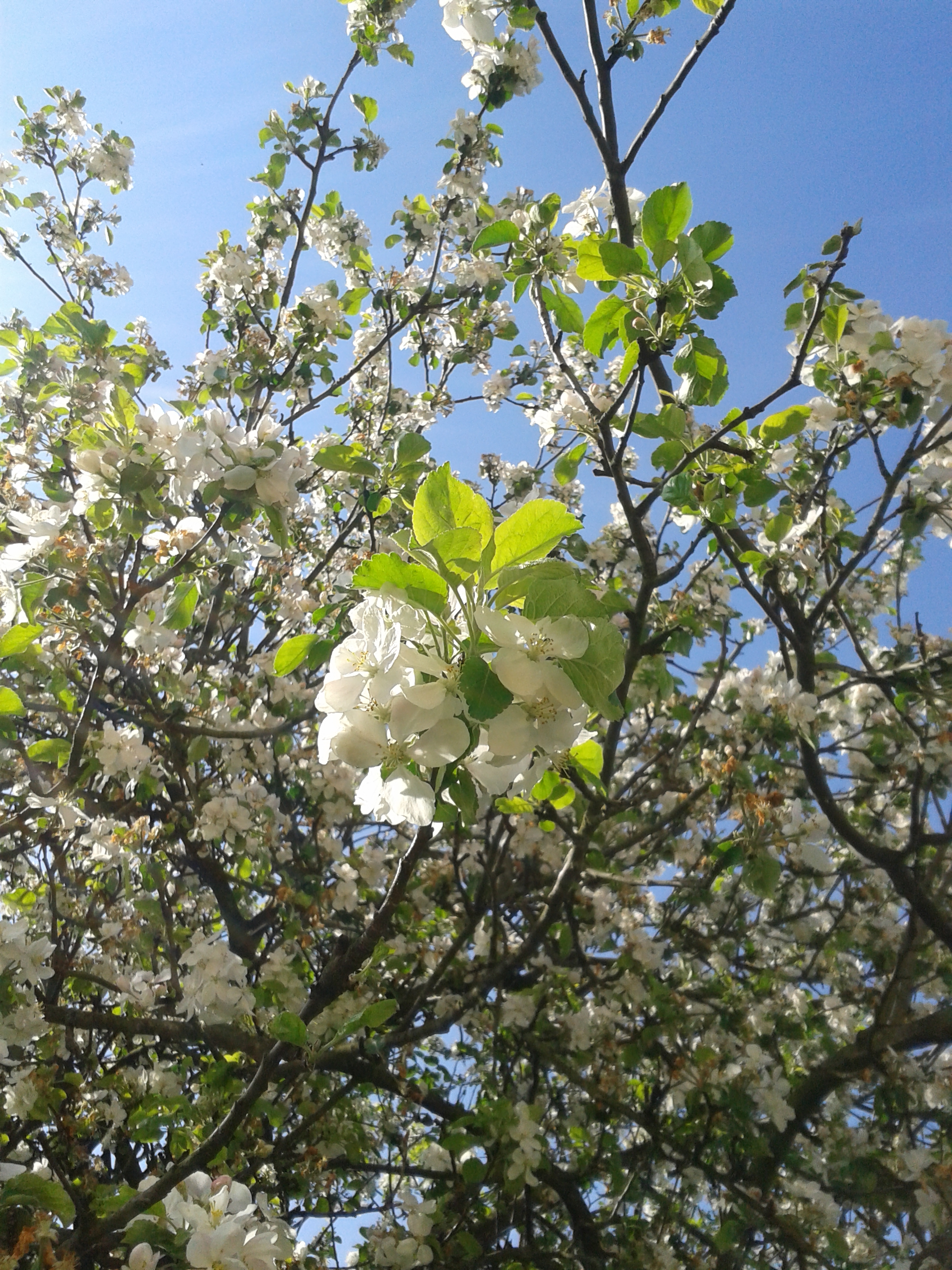 květen - jablon